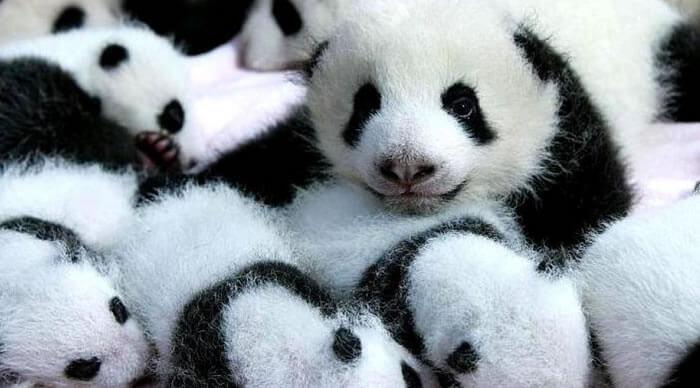 Crias urso panda