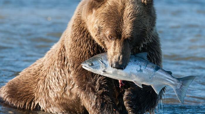 Urso que come peixe