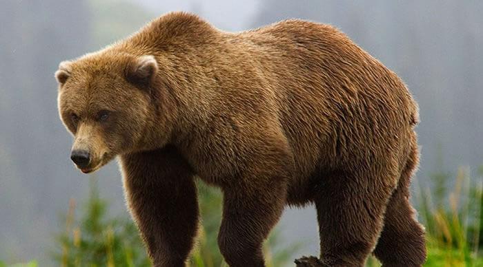 Urso Grizzli