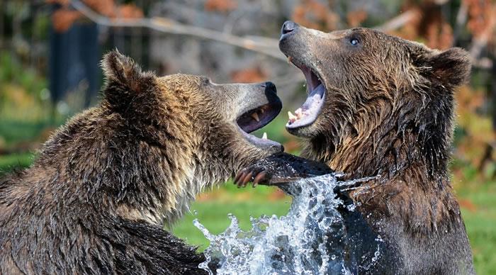 Ursos Grizzli a brincar