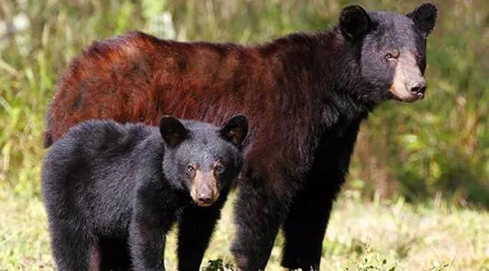 Urso preto americano marrom