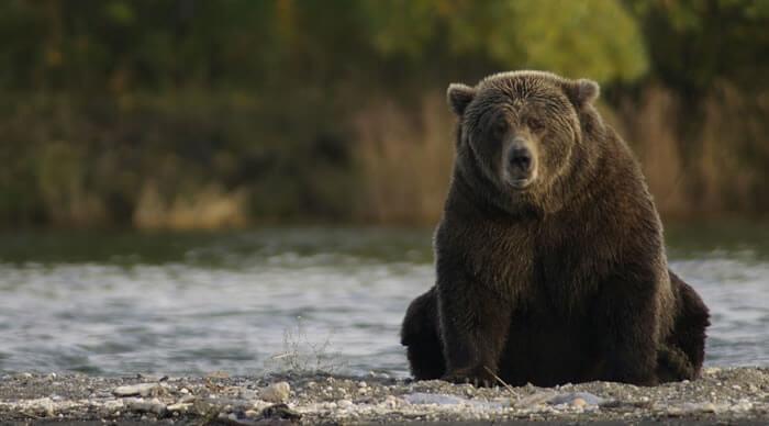 Urso no rio