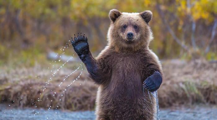 Urso diz olá.