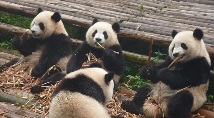 Ursos panda comendo