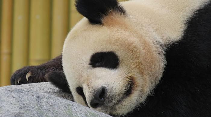 Urso panda descansando