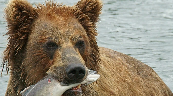 Un urso comendo peixe