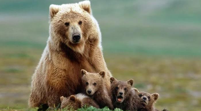 Urso pardo com crias