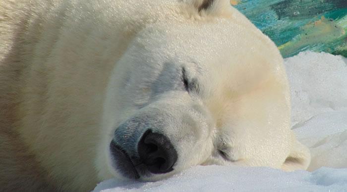 Urso Polar na neve