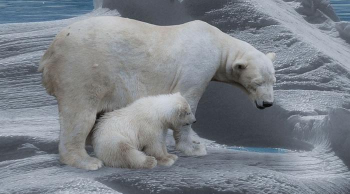 Urso Polar com cria