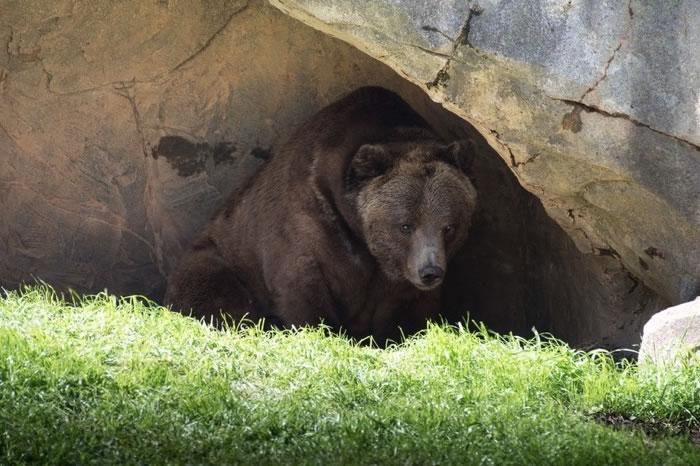 Urso repousando debaixo de uma rocha