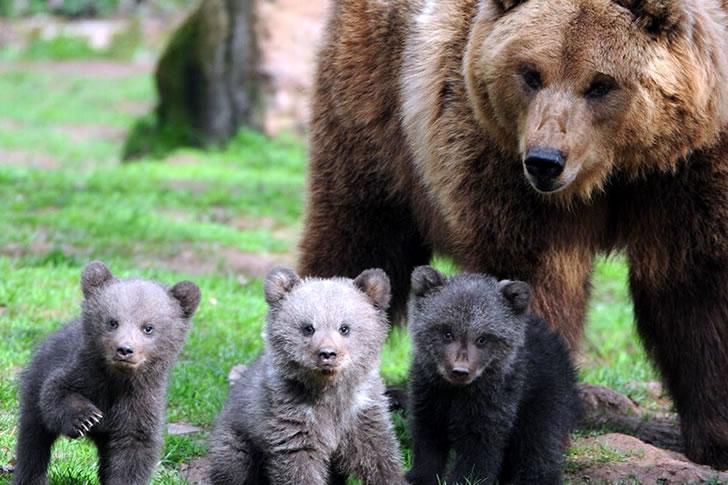 Urso mãe com seus filhos