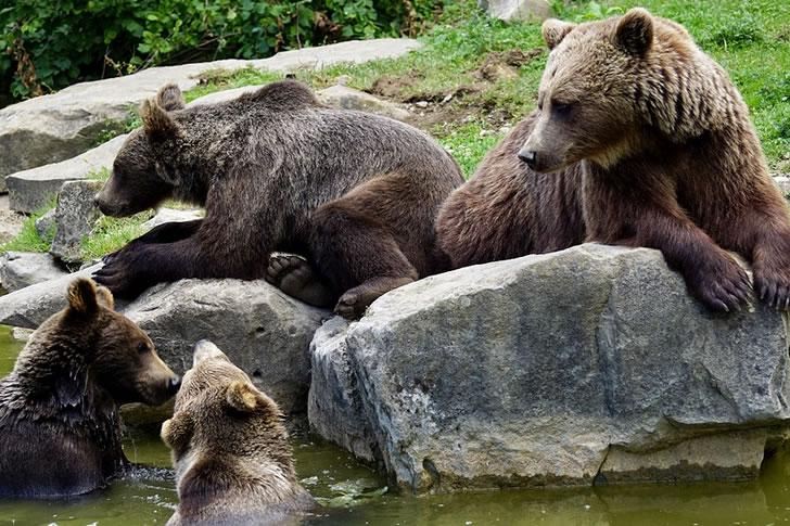 Ursos en repouso